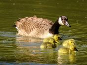 Newborn goslings