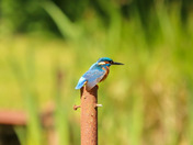 Kingfisher waiting to catch food for its young