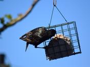 Starlings Feeding.