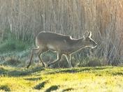 chinese water deer. nwt cley marsh.