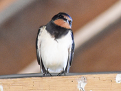 The Swallows are back