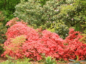Azalea and Rhododendrons