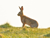 hare ; nwt cley marsh.