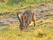 hare ; nwt cley marsh.