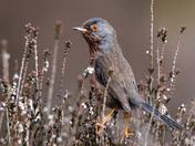 Dartford warbler in heather