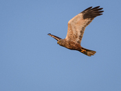 Marsh Harrier, male