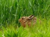 Hare tries to hide.