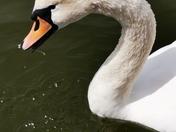 Loan Swan Diss mere