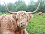Face to Face with a Highland Cow