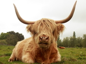 Highland Cow Face to Face