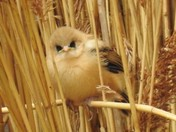 Bearded tit fledgling