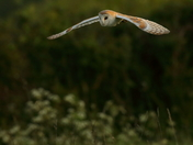 Barn Owl at Old Buckenham