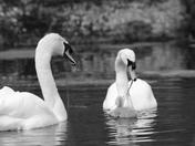 Oxbrough Hall's Swans