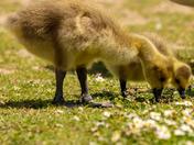 As gaggle of goslings