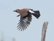 A Jay in flight.