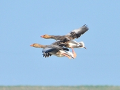 greylag geese over nwt cley marsh.