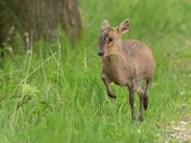 Muntjac Deer.
