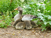 GOSLINGS TRYING TO GET UNDER MUM'S WING