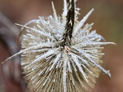 Abstract. Frosted teasel