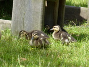 DUCKLINGS AROUND THE PICNIC TABLES AT PENSTHORPE NATURAL PARK