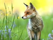 Beautiful Fox . Beautiful light.