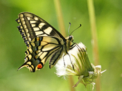 Norfolk's own Swallowtail Butterfly