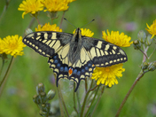 Swallowtails on hawkweed
