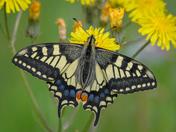 Swallowtails on hawkweed