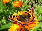 Tortoiseshell Butterfly on Marigolds.(photo challenge )