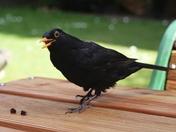 Cheeky Blackbird
