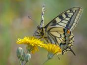 Swallowtail on hawkweed