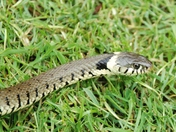Grass Snake in the Garden