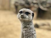 Meerkat on the lookout (02)