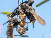 Squabbling starlings