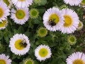 Bees enjoying Nectar