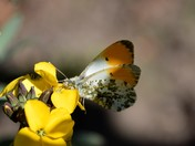 Orange Tip and Holly Blue