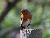 Our friendly little garden Robin