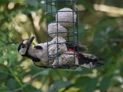 Greater Spotted Woodpecker and Magpie