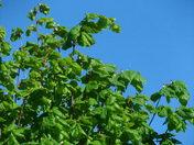 GREEN LEAVES - BLUE SKY