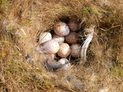 Bluetits eggs