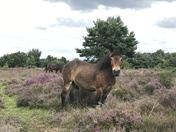 Knettishall Heath Horses