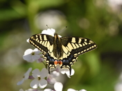The Swallowtail Butterfly.