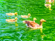 Greylag Goose and Goslings