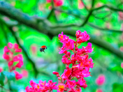 Bee and Tree Blossoms