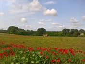 Newbourne poppies