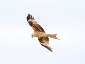 Red kites flying over Harold hill
