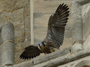 First Peregrine to fledge at the cathedral