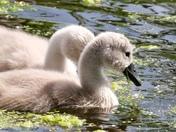 Swans at Strumpshaw Fen