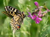 Swallowtail on red campion