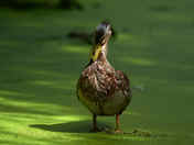 Duck in the weeds